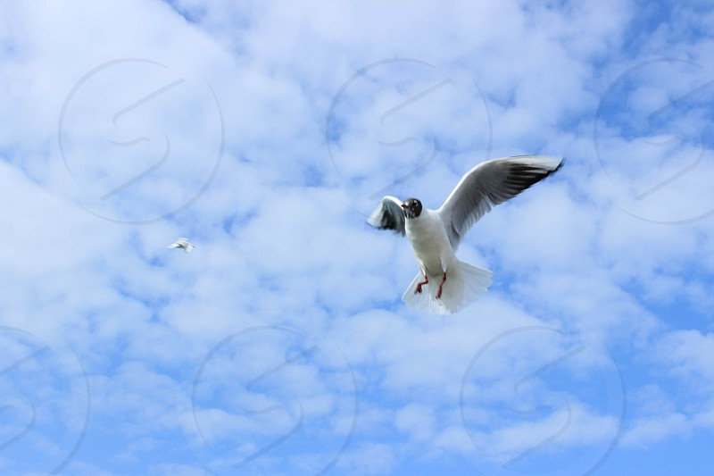 white and black feather duck coming in for a landing under a white cloud blue sky photo