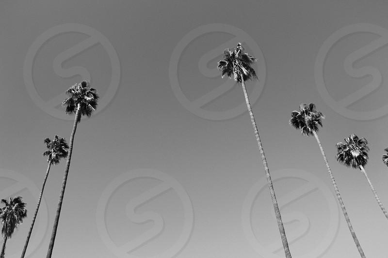 palm trees los angeles photo