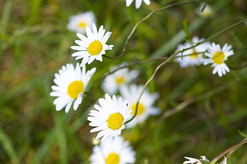 Daisies in a Normandy field.  photo