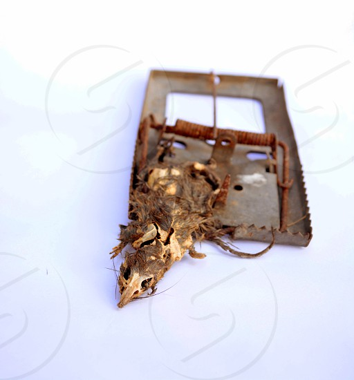 Rat stuck to death.Dead rat carcasses on a trap. photo