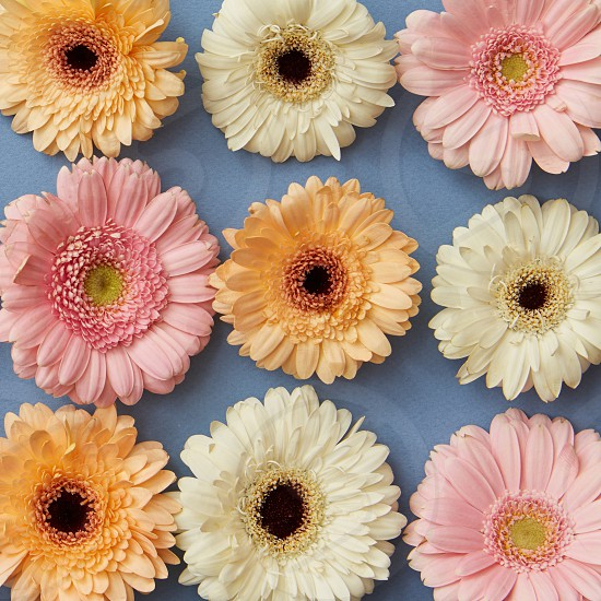 A pattern of white pink and orange gerberas on a blue paper background. as layout for post card on Valentine's Day or Mother's Day. Flat lay photo