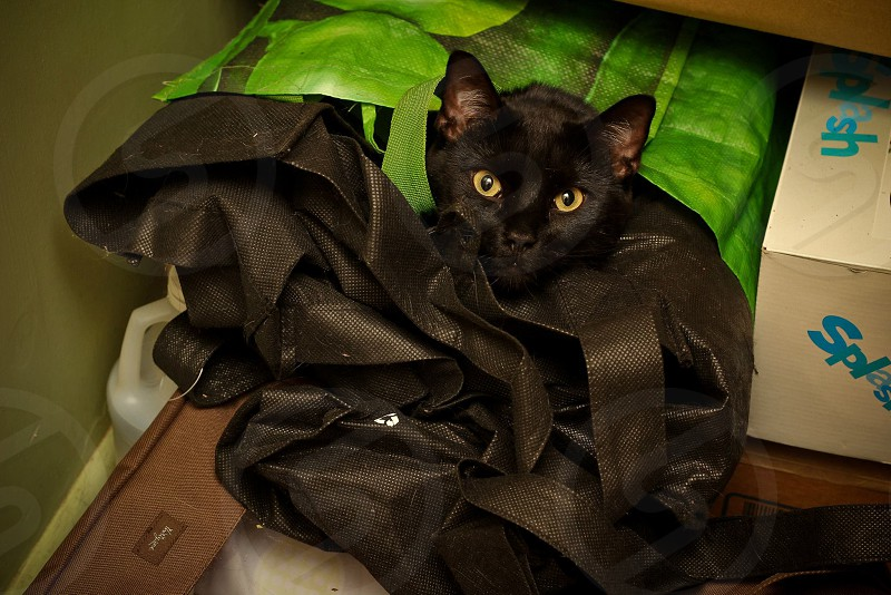 black Bombay cat photo