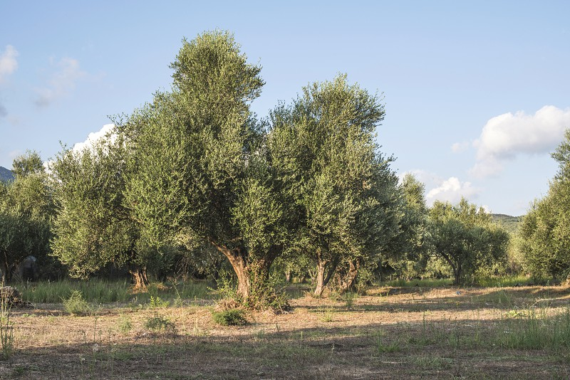 Olive trees in plantation. Agricultural land photo