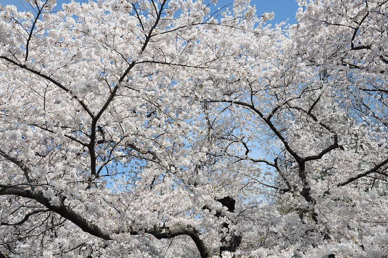 spring blossom white trees photo