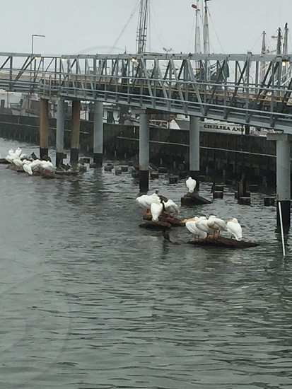 White Pelicans off Pier 19 in Galveston photo
