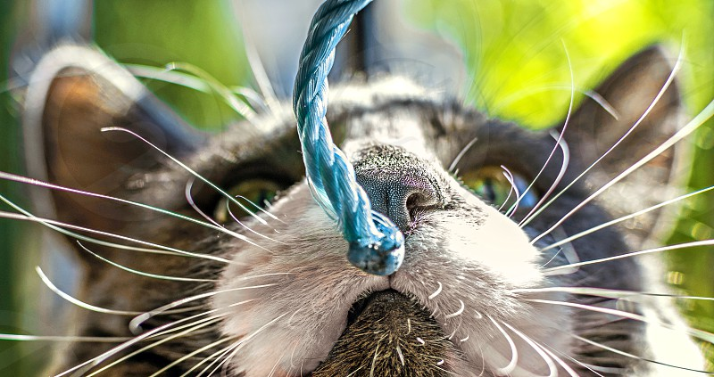 Close up view of the head of a black and white cat focused on nose trying to smell a string. photo