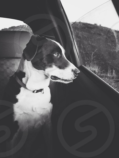 Dog looking out of car window.  photo