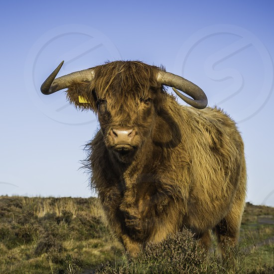 A Highland cow on moorland staringdirectly at the camera.  photo