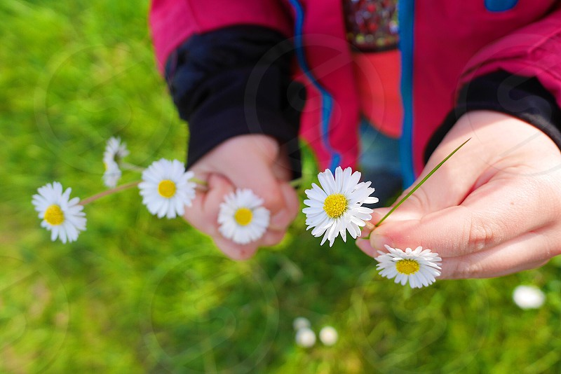 Small flowers flowers picking flowers kid child white flowers petal day photo