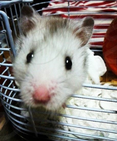 white guinea pig on white steel cage photo