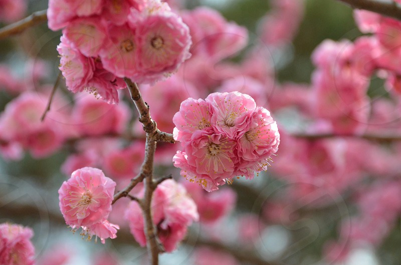 pink cherry blossom macro photography photo