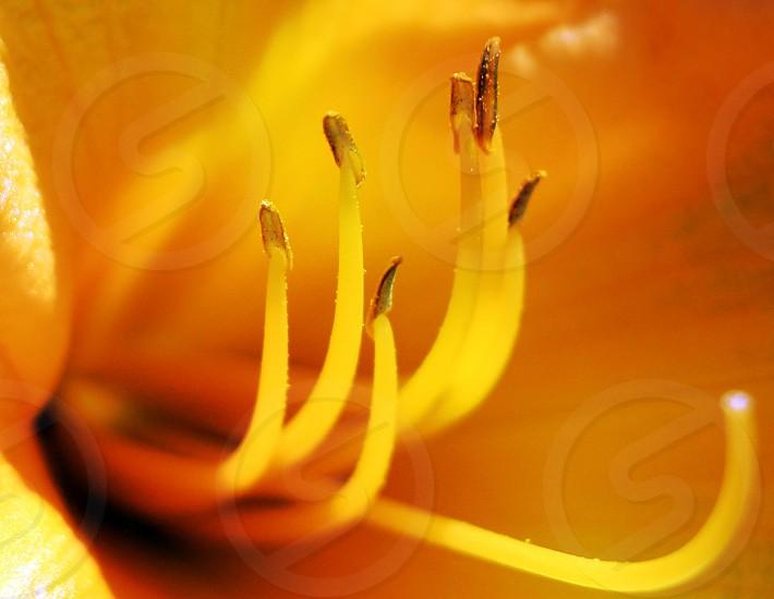 daylily flower photo