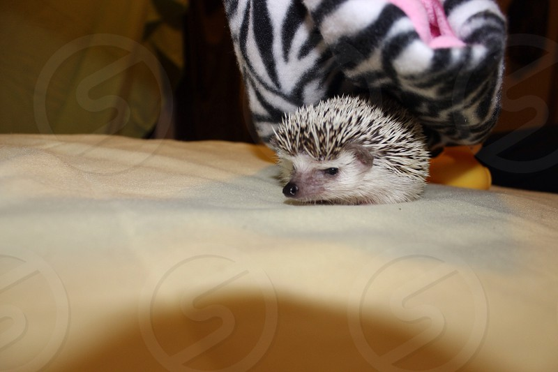 My hedgehog Marley  photo