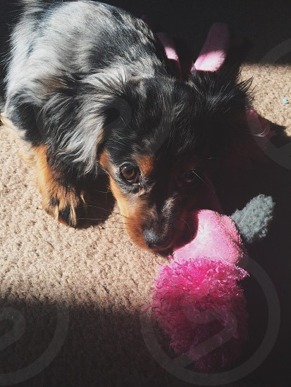 black and brown long haired puppy photo
