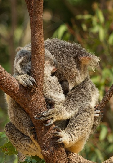 Koalas mammals animals cute couple two cuddle koala tree nature outdoors wildlife claws fur eucalyptus tree mother and baby baby mother adult nurture nurturing branch animal bear koala bears  photo