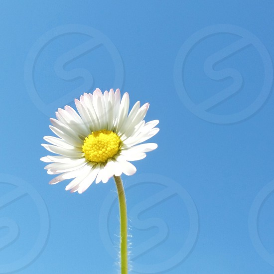 daisy in the sky photo