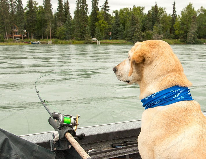Dog watching a fishing pole while sitting in a boat on the river. Yellow lab  photo