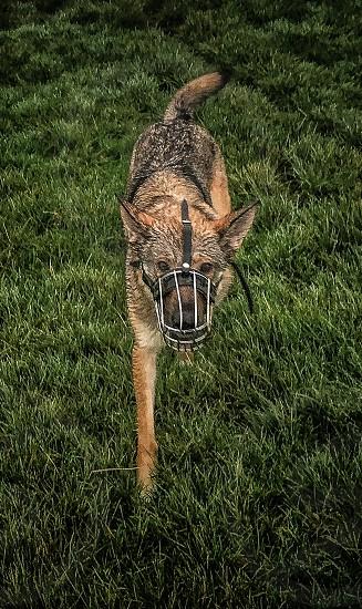 Dog with muzzle photo