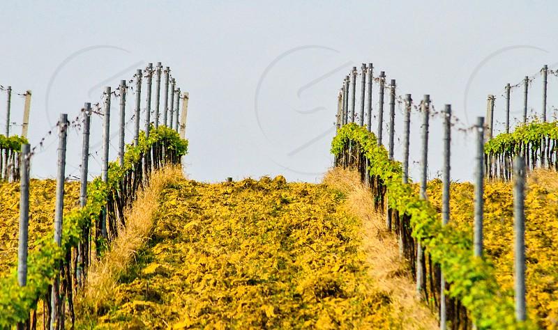 spring vineyard in tuscany Italy photo