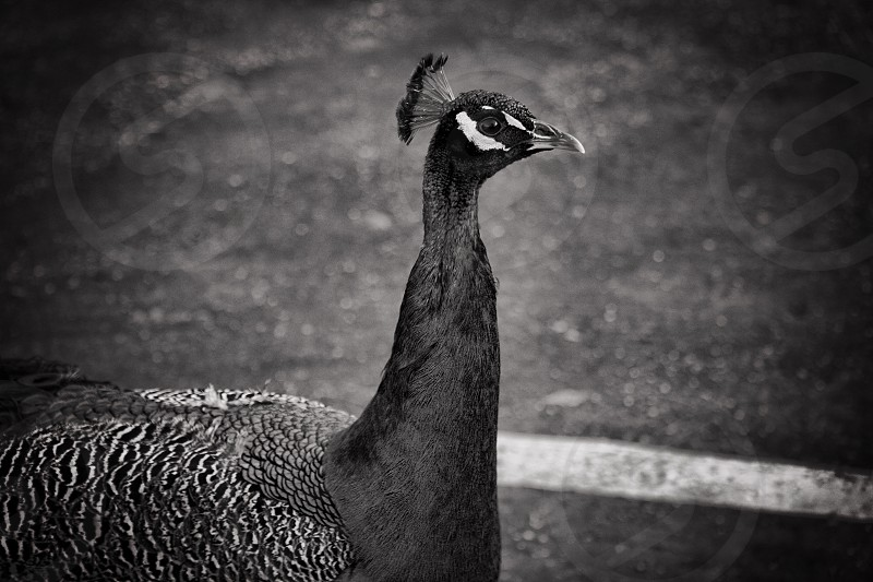 Peacock black and White bird  photo