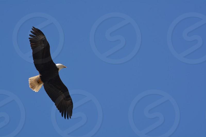 Bald Eagle Flying Above photo