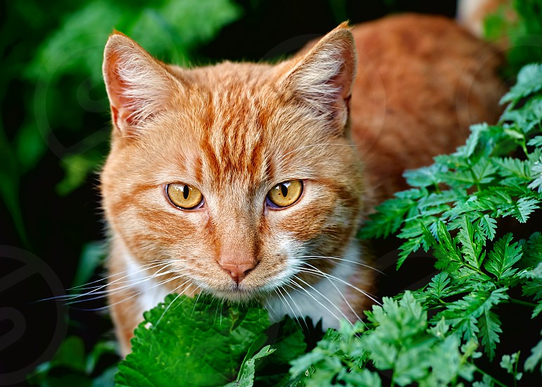 Feral Orange Tabby against a green background of leaves photo