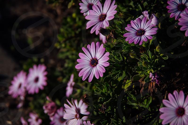 violet colors photo