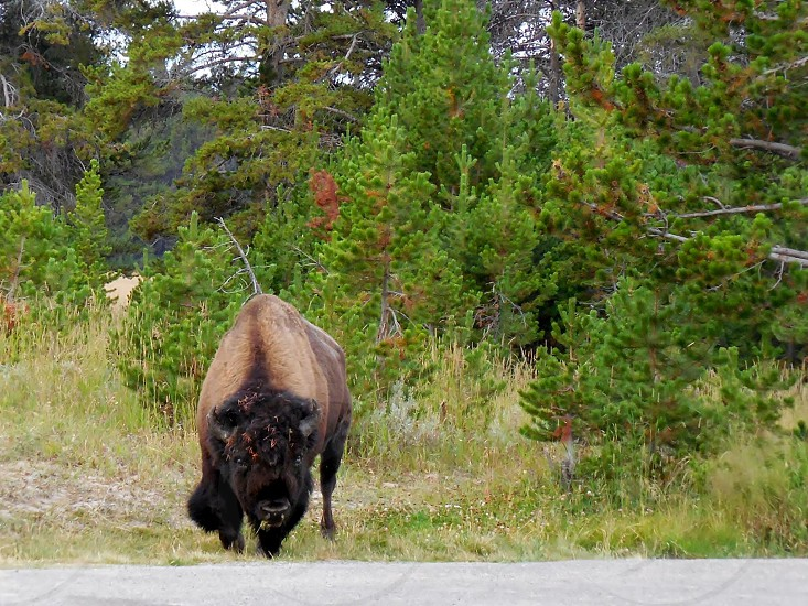 Bison at Yellowstone photo