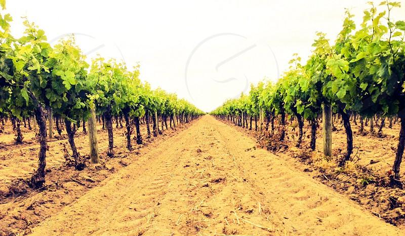 grapes plantation photo