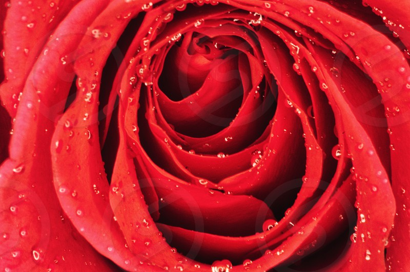macro rose flower love red romantic romance photo