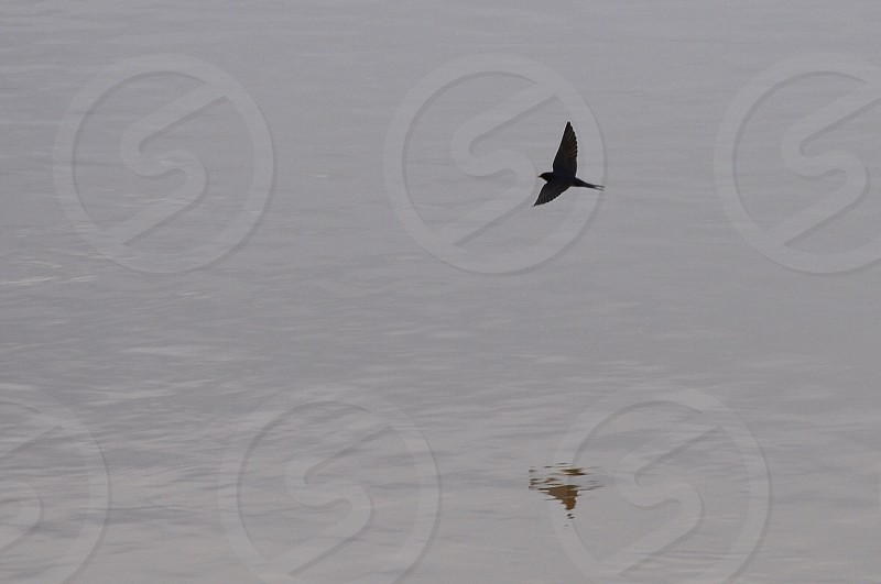 black bird near landing to water photo