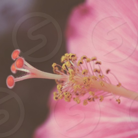 pink hibiscus in close photography photo