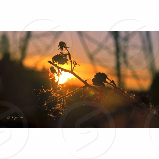 dried plant at sunset photo