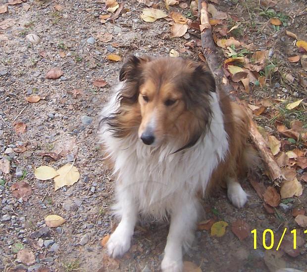 Dog Sheltie Priness photo