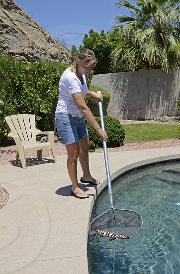 A homeowner living on the outskirts of Phoenix Arizona nets a stray Gila monster (Heloderma suspectum) out of her pool. photo