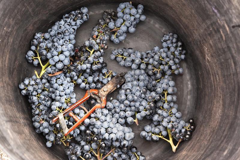 Grape harvest in la rioja. spain photo