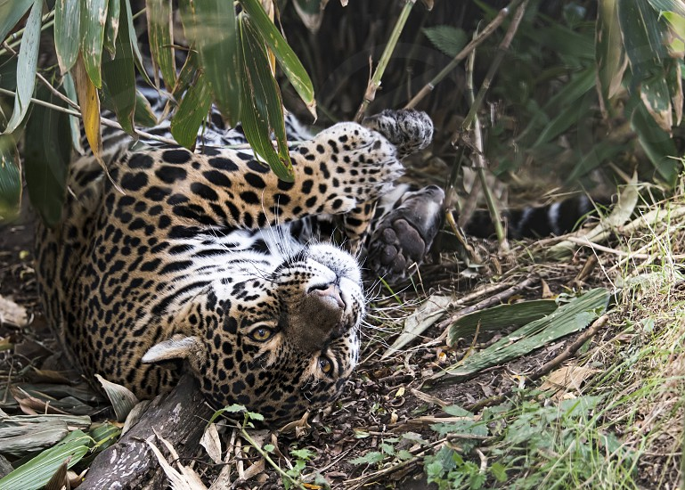 Female Jaguar in captivity - playful - closeup photo