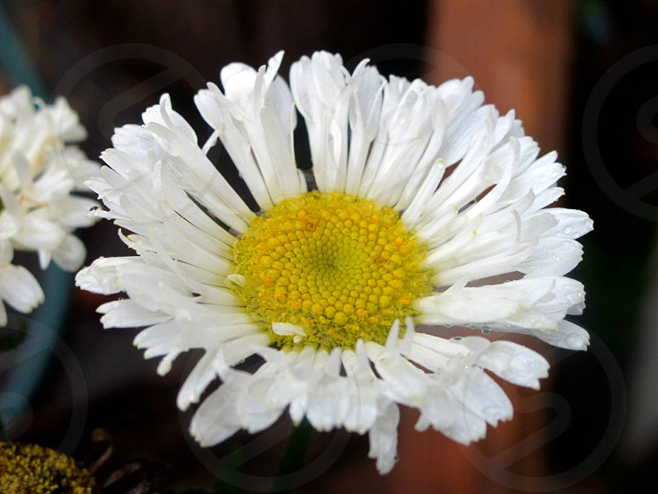 Feathered petaled daisy white with yellow center photo