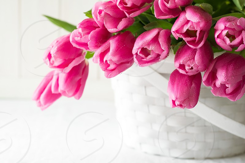Violet tulips bouquet in basket in front of white wooden wall. Space for copy photo