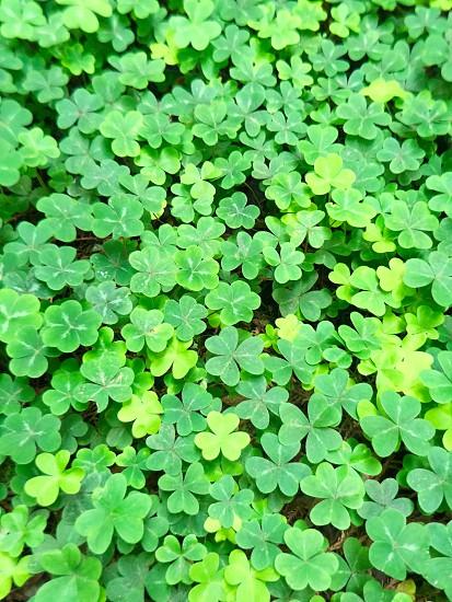 green clovers photo