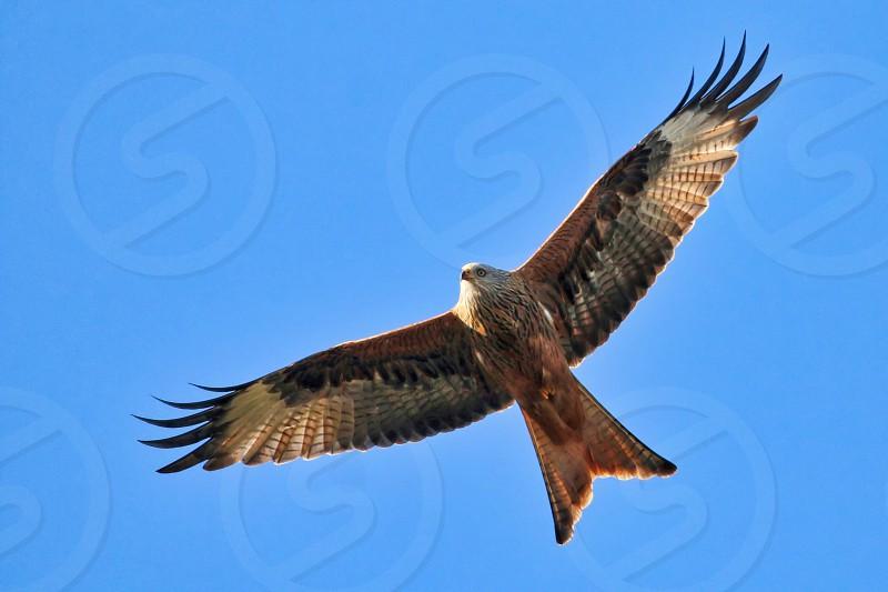 Redkiteflightbirdnatureflying photo