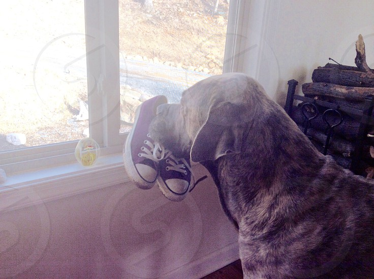 dog with black and white sneaker in mout photo