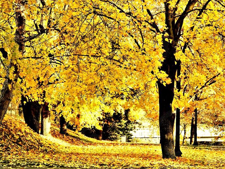 Golden Splendor photo