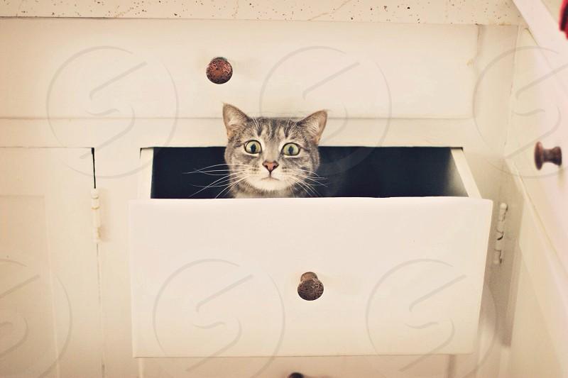 gray tabby cat inside white drawer photo