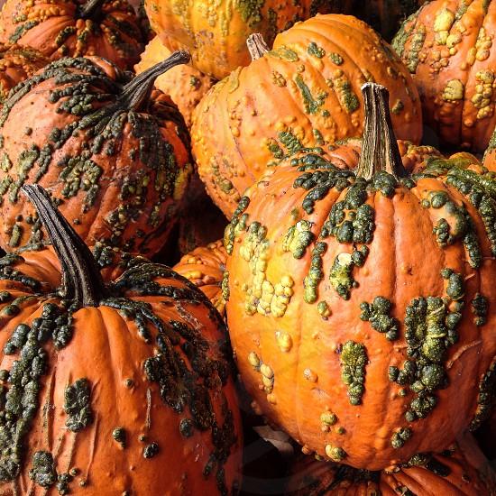 Warty pumpkins in sunshine photo