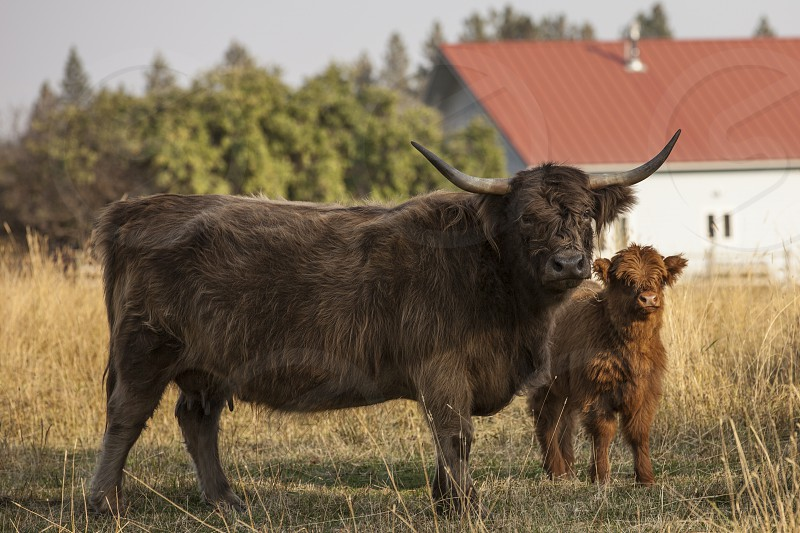 Cow mother baby country life farm Scottish Highland Cattle new born calf  photo
