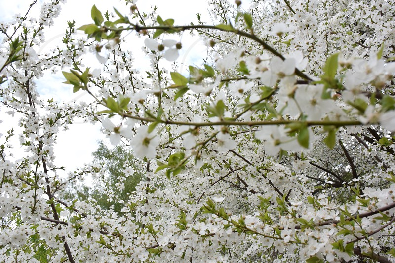 cherry cherry blossom white green light spring blooming photo