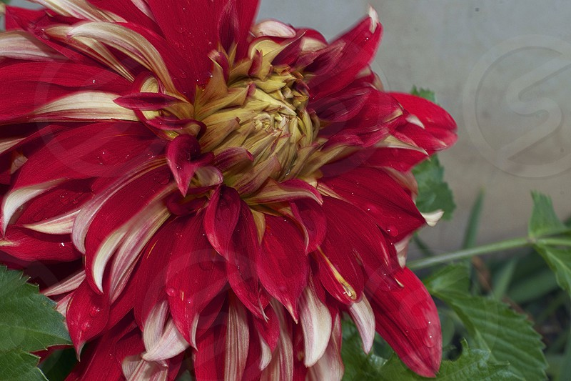 nice colorful big dahlia in my garden photo