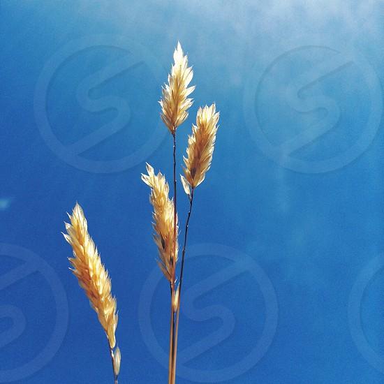 sunlight shining in blue sky on golden plant stalks photo