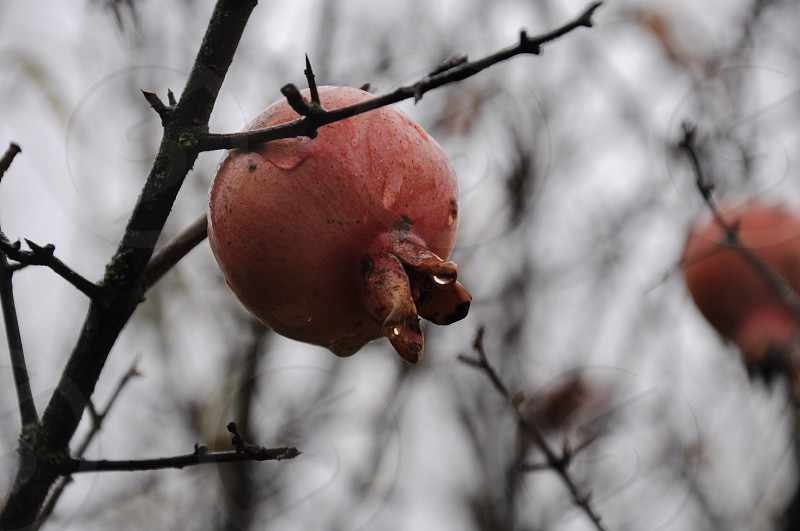brown round shaped fruit photo